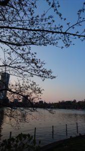 不忍池の桜