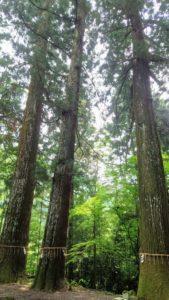 金櫻神社、杉の群